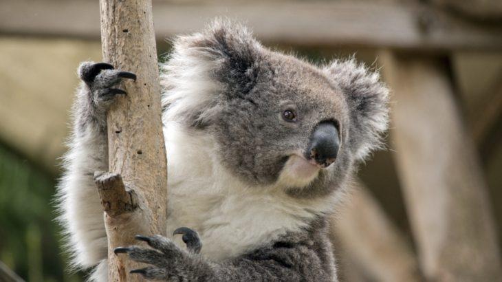 コアラの生態